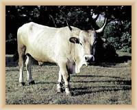 Boskarin - hiesige Rinder